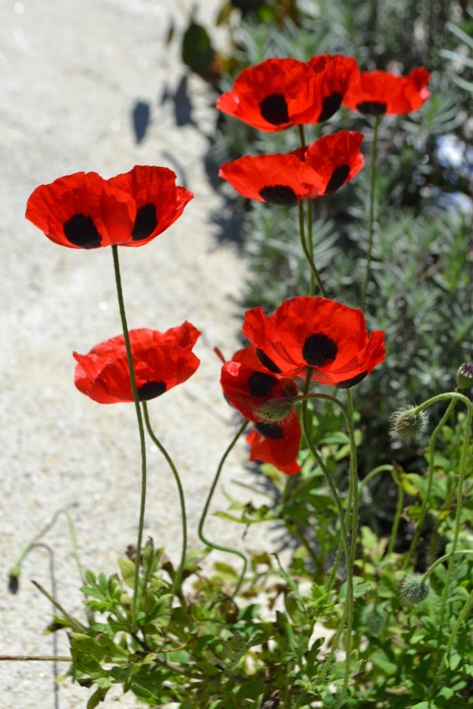 Monhegan Poppies